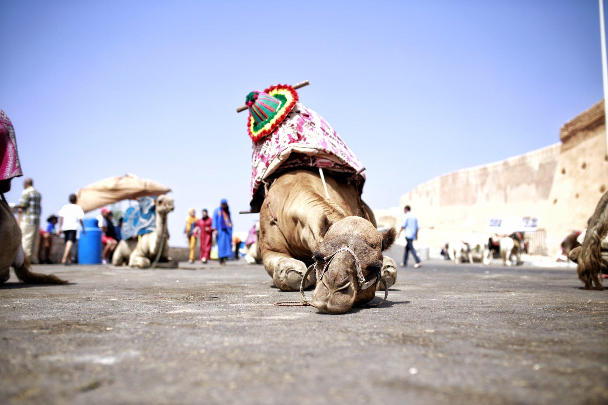tired-camel-having-a-break-agadir-marokko-kasuma-photo-blog-2016